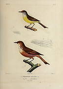 hand coloured sketch Top: dusky-capped flycatcher (Myiarchus tuberculifer [Here as Tyrannus tuberculifer]) Bottom: streak-throated bush tyrant (Myiotheretes striaticollis) [Here as Tyrannus rufiventris]) From the book 'Voyage dans l'Amérique Méridionale' [Journey to South America: (Brazil, the eastern republic of Uruguay, the Argentine Republic, Patagonia, the republic of Chile, the republic of Bolivia, the republic of Peru), executed during the years 1826 - 1833] 4th volume Part 3 By: Orbigny, Alcide Dessalines d', d'Orbigny, 1802-1857; Montagne, Jean François Camille, 1784-1866; Martius, Karl Friedrich Philipp von, 1794-1868 Published Paris :Chez Pitois-Levrault et c.e ... ;1835-1847