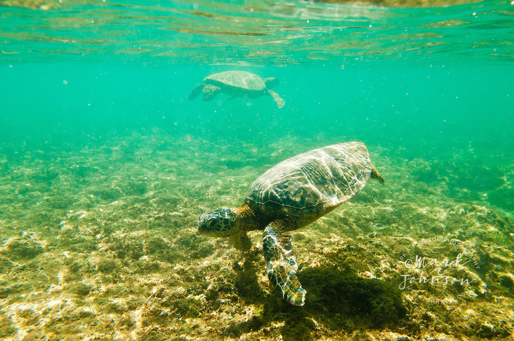 2 Green Sea Turtles, Oahu, Hawaii