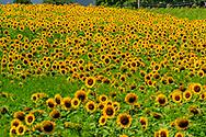 Sunflowers, Southold, NY