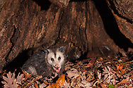 Virginia opossum (Didelphis virginiana)<br /> United States: Alabama: Tuscaloosa Co.<br /> Tulip Tree Springs off Echola Rd.; Elrod<br /> 29-Dec-2016<br /> J.C. Abbott &amp; K.K. Abbott<br /> captured with trap camera