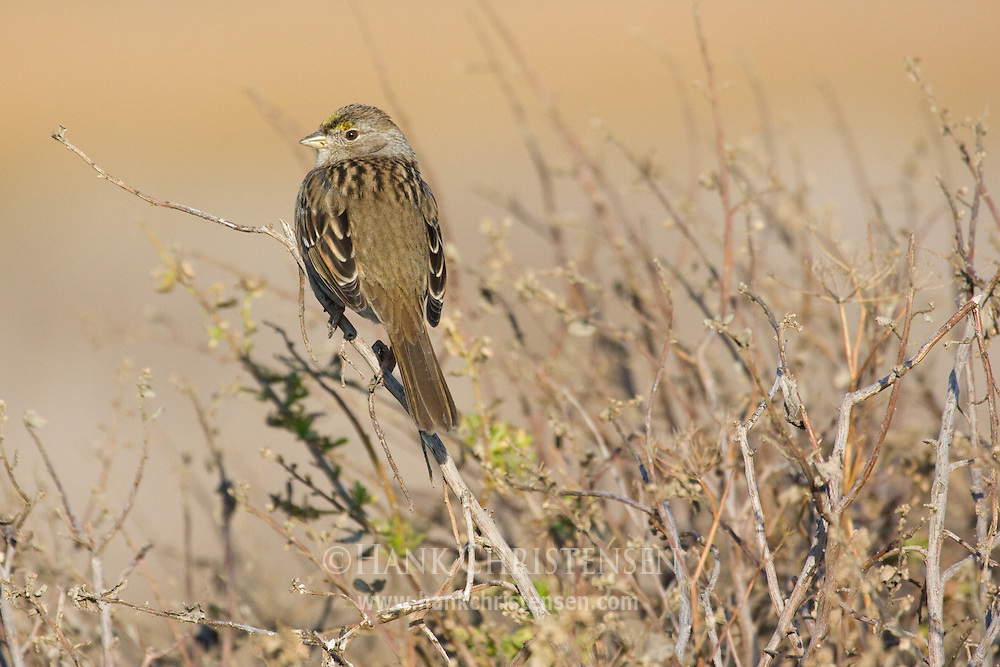 Golden-crowned sparrow perched on wetland plants