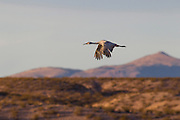 A sandhill crane (Grus canadensis) flies over the rugged landscape of the Bosque del Apache National Wildlife Refuge in New Mexico.