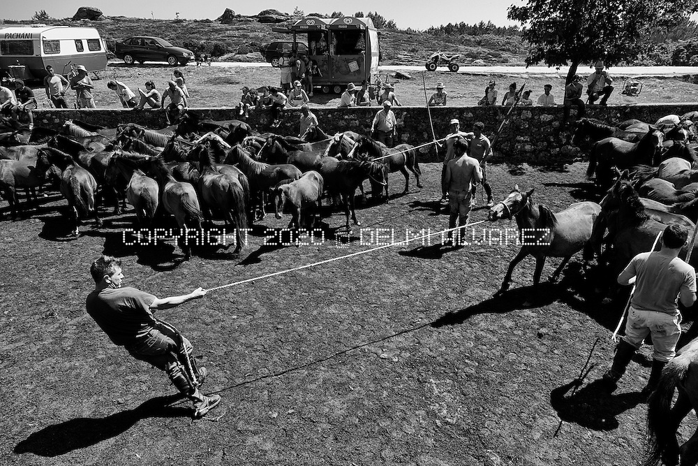 """One cowboy pulling a wild horse in the ancient round up horses in Valga, Oia, Pontevedra. Galician wild horses (Equus ferus atlanticus) is one of the most old kind of horses studied by different universities. The horses live all the year in the mountains of Serra da Groba in a wild state. Once per year owners of horses round up in a space (rapa das bestas and curro) to cut hair and disinfection. This year the Galician Government obligate to the farmers and owners to put a micro-chip (like dogs) in each horse being controversial. A canadian company is trying to open a pit gold mine in the area using cyanid and other toxics. Voices against the mine says that wild horses will disappear if the mine start because this breed is very special for the fertilization of the ground and the ecosystem. Equus ferus atlanticus eat gorse in galician """"toxo"""" (Ulex europaeus) that helps to insects, birds and other animals to survive in the mountains."""