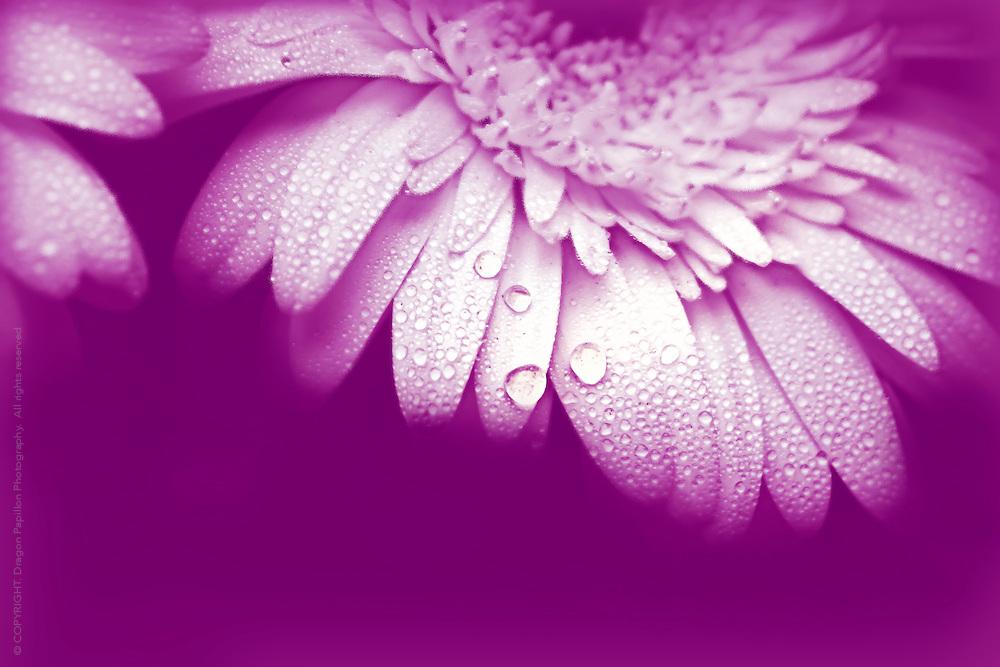 dew drops on petals on magenta background