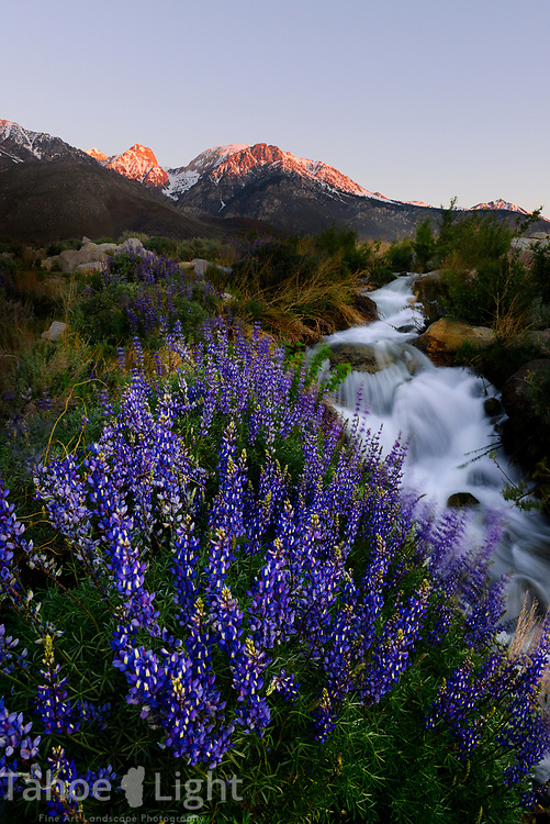 Bush Lupine and Eastern Sierra mountains and stream up Division creek in the high sierra mountains near Independence, California.