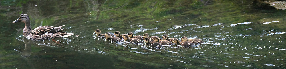 Duck family on Little Sugar Creek near Thompson Park