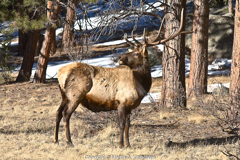 Rocky Mountain Elk  (Cervus elaphus)  Bull elk during the winter season at Rocky Mountain National Park.  Colorado.