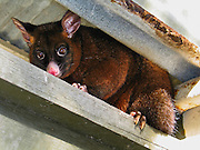 "Native to Australia and the largest of the possums, the Common Brushtail Possum is a nocturnal, semi-arboreal marsupial of the family Phalangeridae. Fur color patterns tend to be silver-gray, brown, black, red, or cream. The bushy tail has a hairless patch underneath and a prehensile tip for gripping branches. It is nocturnal like most possums, and in the wild mainly eats eucalyptus leaves but has been known to eat small mammals such as rats. It is the Australian marsupial most often seen thriving in cities, where they like fruit trees, vegetable gardens, and kitchens. It is a major agricultural and conservation pest in New Zealand where it was introduced in the 1800s. Its scientific name Trichosurus vulpecula is from the Greek for ""furry tailed"" and the Latin for ""little fox"", also known as Phalangista vulpine. Photo is from Tidal River Campground, Wilson's Promontory National Park, in the Gippsland region of Victoria, Australia."