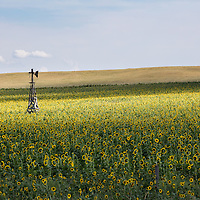 http://Duncan.co/broken-windmill-in-sunflower-field