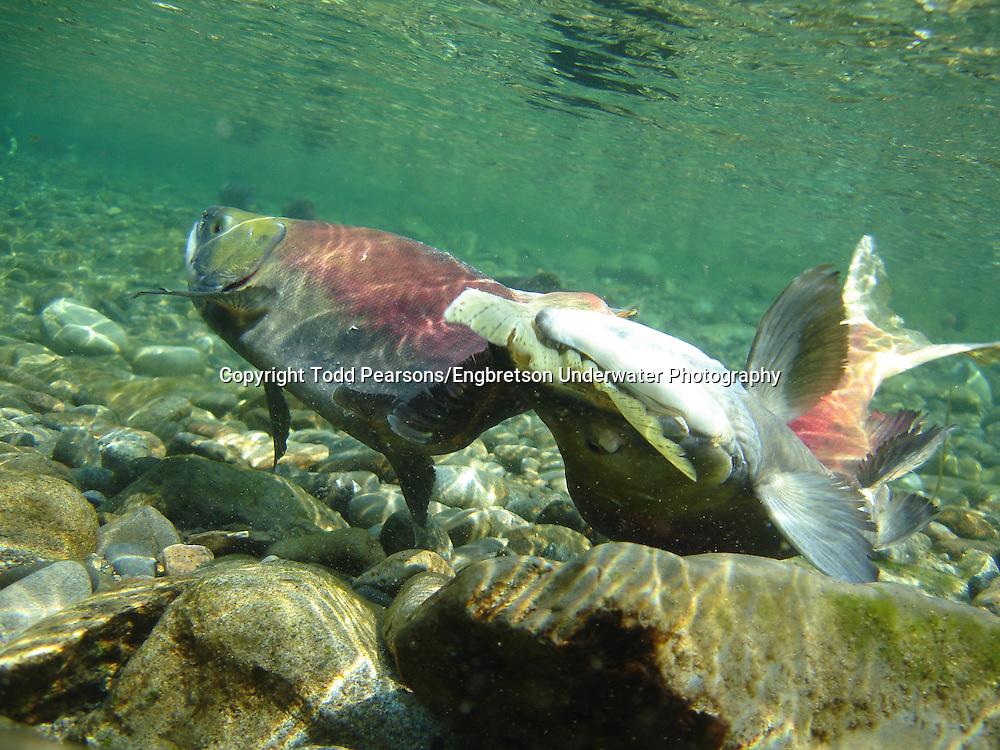 Sockeye Salmon Spawning<br /> <br /> Todd Pearsons/Engbretson Underwater Photography