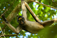 Spider Monkey (Ateles belzebuth) above the clay lick at the Tiputini Biodiversity Station, Orellana Province, Ecuador