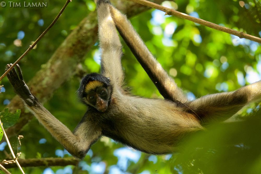 Spider Monkey (Ateles belzebuth) above the clay lick at the Tiputini Biodiversity Station, Orellana Province, Ecuador