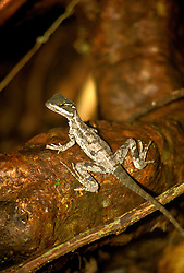 Costa Rica: Jesus Christ Lizard in Tropical Rain Forest..Photo #: costar103..Photo copyright Lee Foster, 510/549-2202, lee@fostertavel.com, www.fostertravel.com.