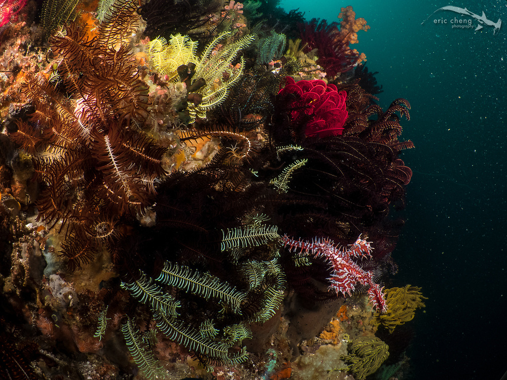 Ornate ghost pipefish (Solenostomus paradoxus) hiding near its host crinoids. Baleh, Komodo National Park, Indonesia.