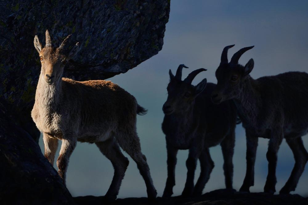 Iberian ibex, Capra pyrenaica, Sierra de Francia, Western Iberia, Spain
