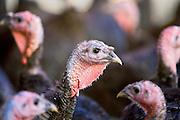 Free-range Norfolk bronze turkeys at Sheepdrove Organic Farm , Lambourn, England