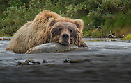 A bear (Ursus arctos) enjoys a nap in the cool river - Katmai, Alaska