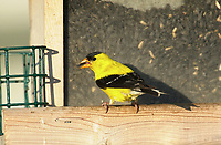 American Goldfinch (Carduelis tristis), Millarville, Alberta, Canada   Photo: Peter Llewellyn