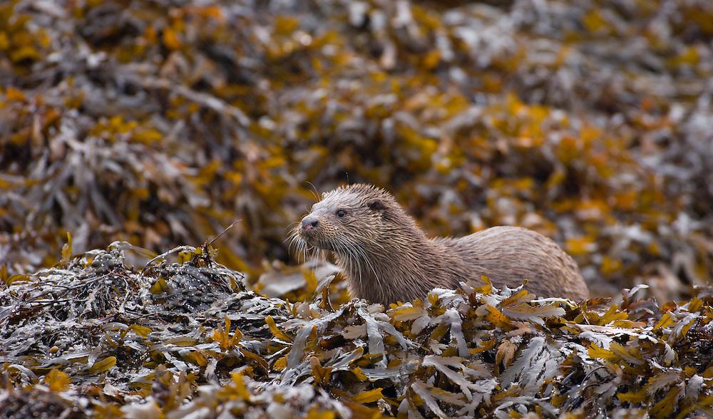 European otter on shore line, Scotland