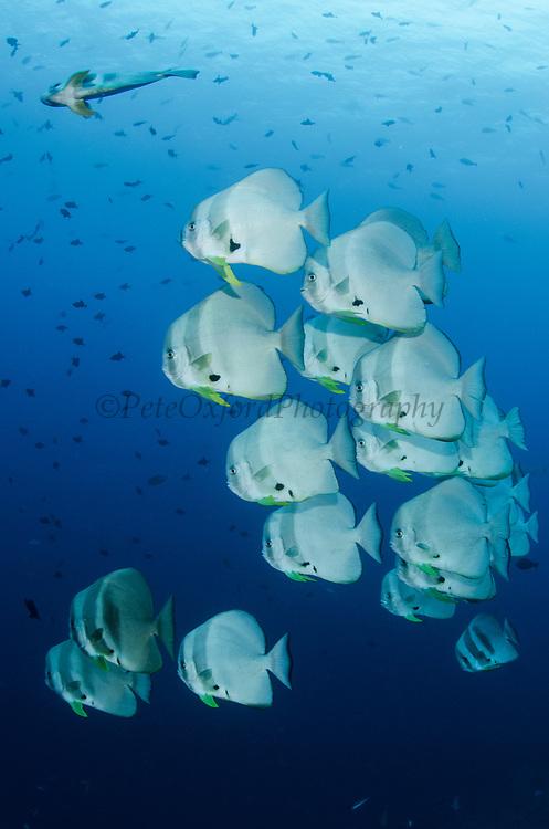 Longfin Spadefish (Platax teira)<br /> Raja Ampat<br /> West Papua<br /> Indonesia