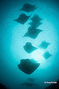 reef manta rays, Manta alfredi (formerly Manta birostris ), feeding on plankton, Hanifaru Bay, Hanifaru Lagoon, Baa Atoll, Maldives ( Indian Ocean )