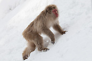 Snow monkey, climbing snow bank.