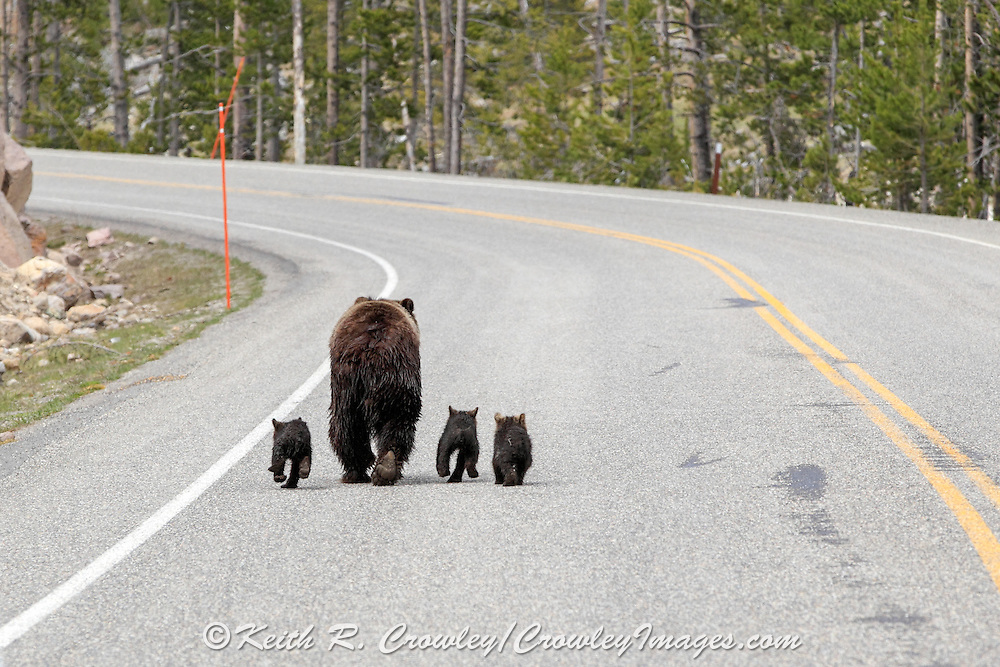Sow Grizzly with Three Young Cubs on Paved Road
