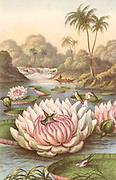 Victoria Regia, the giant South American waterlily discovered by Robert Hermann Schomburgk (1804-1865), British traveller and explorer, during an expedition in British Guiana, with Humming Birds. Coloured engraving, London, 1874.