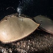 This is a pair of endangered tri-spine horseshoe crabs (Tachypleus tridentatus) preparing to spawn. The larger female in front has chosen a place to deposit eggs. She has just commenced digging. The bubbles streaming up from between her prosoma and opisthosoma are the result of pockets of air trapped in the mud and gravel being released due to the female's excavation. Spawning takes place in the intertidal zone, which is the reason that air is present in the sediment. The smaller male is firmly affixed to the female's opisthosoma. He will fertilize the eggs she deposits, and then the pair will move on to find another location to spawn again.<br />