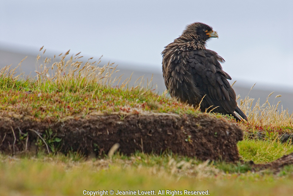 The wind brushes up the grass and feathers of the striated caracara.