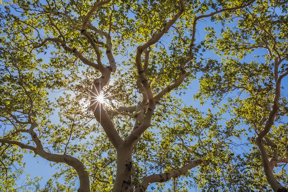 View looking up through a large sycamore tree with outstretched branches an bright sunlight, Sedona, Arizona