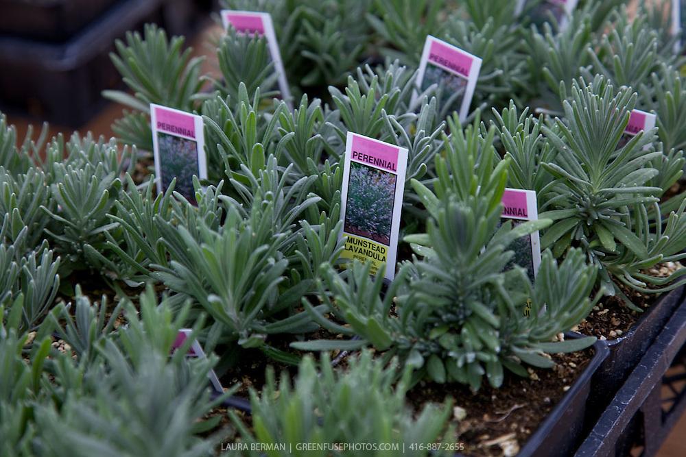 Munstead English lavender seedlings (Lavandula angustifolia 'Munstead')