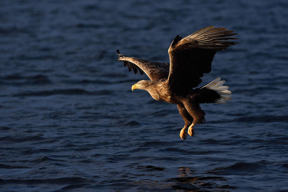 White-tailed eagle or Sea eagle or Erne, Haliaeetus albicilla, eating herring, Clupea harengus,  Flatanger, Nord-Tröndelag, Norway