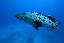 """Cuddles"" the Potato Cod at 'Cod Hole', Mermaid Reef."