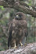 Io or Hawaiian Hawk