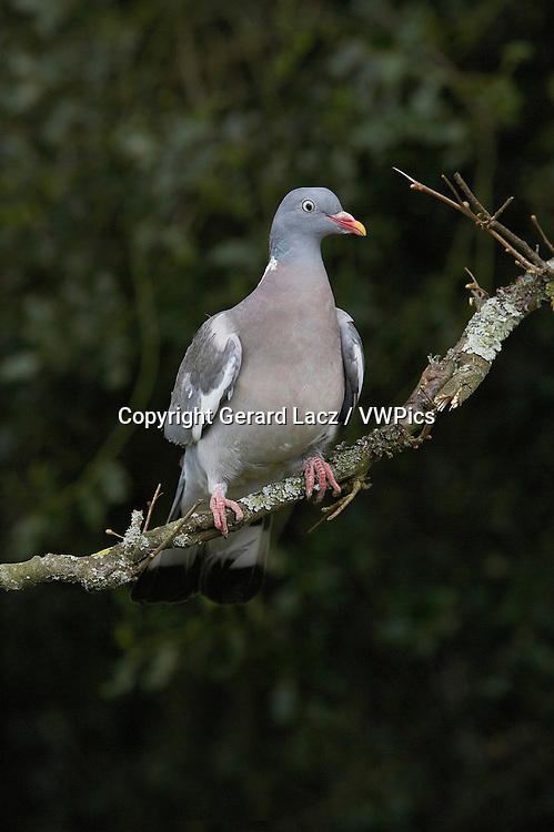 Wood Pigeon, columba palumbus, Adult standing on Branch, Normandy