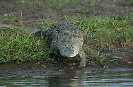 American Crocodile (Crocodylus acutus), River Tarcoles, Costa Rica. <br /> <br /> For pricing click on ADD TO CART (above). We accept payments via PayPal.