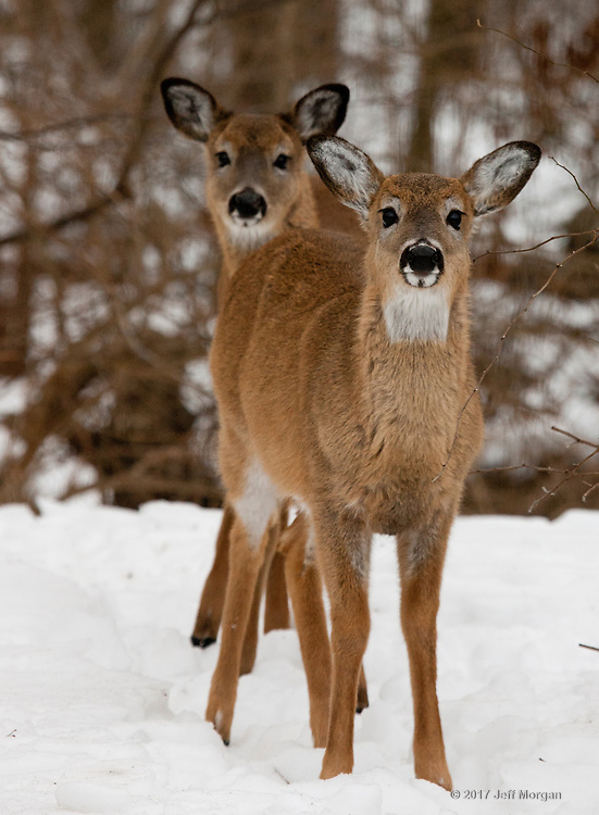 Young White Tailed Deer in winter staring at the photographer