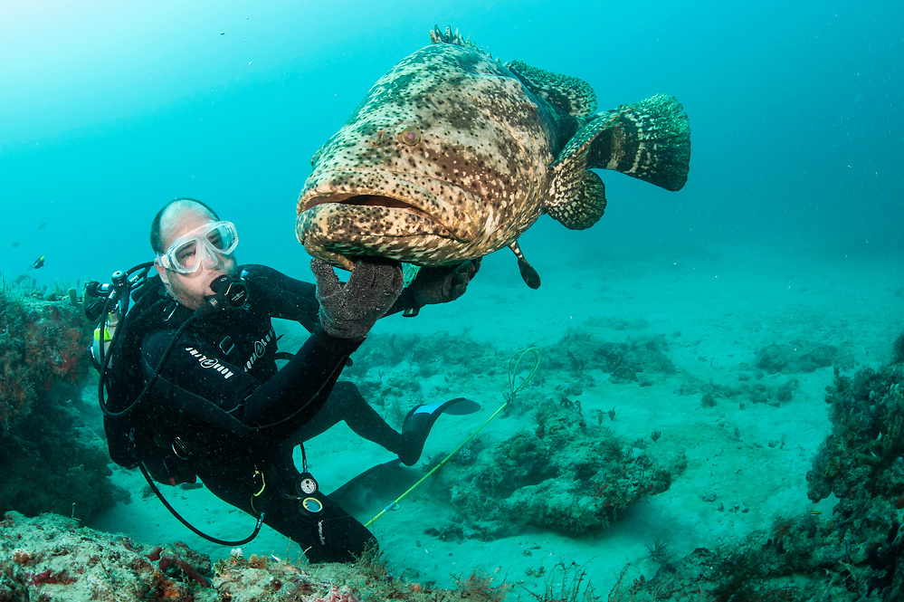 A scuba diver interacts with a endangered Goliath grouper, Epinephelus itajara, on a coral reef in Palm Beach County, Florida, United States