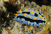 Sky Blue Phyllidia (Phyllidia coelestis)<br /> Cenderawasih Bay<br /> West Papua<br /> Indonesia