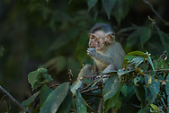 borneo, long tailed macaque, macaque, primates