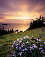 Wild Iris's at sunset on meadow of Samuel Boardman State Park Oregon USA