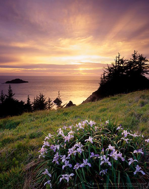 Wild Iris's at sunset on meadow of Samuel Boardman State Park Oregon USA