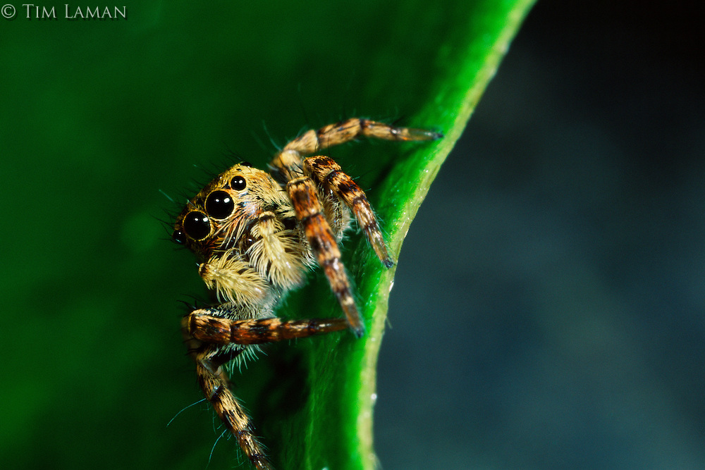 Jumping spider in Sierra Madre National Park, Luzon Philippines.  Sep 01.