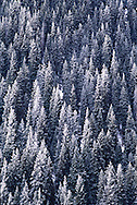 A forest of Tien Shan Firs stands tall in the Zailiisky Alatau mountain spur near Almaty, Kazakhstan