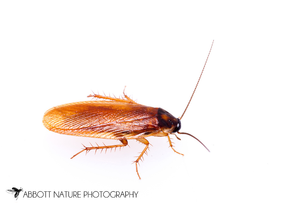 Cockroach (Ischnoptera bilunata)<br /> TEXAS: Jasper Co.<br /> Brookeland/Lake Sam Rayburn KOA @ 505 Co Rd 212<br /> 31.141606, -93.994174<br /> 21.May.2015<br /> J.C. Abbott #2733 & K.K. Abbott