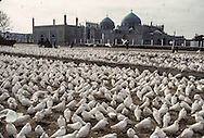 Afghanistan. White pigeon in front of the big mosk of   Mazar I Sharif  Afghanistan     / Pigeons blanc devant la grande mosquee de Mazar I Sharif  Mazar I Sharif  Afghanistan