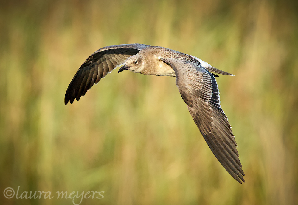 Juvenile Laughing Gull in Flight