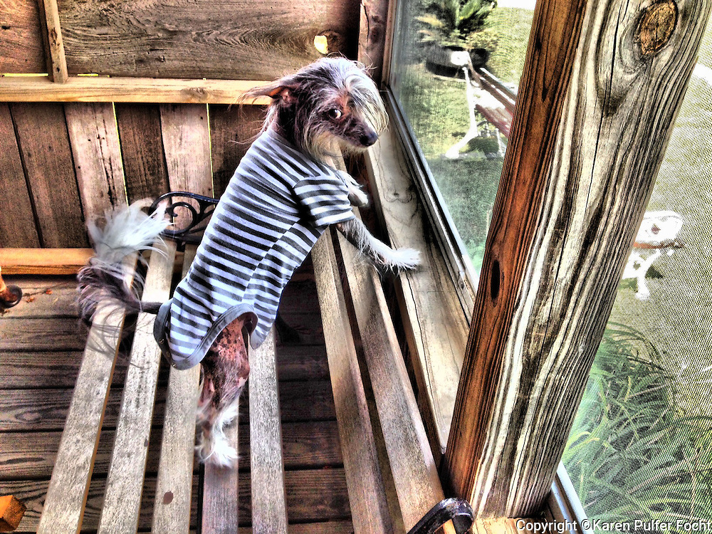 Hachoo, the Chinese crested dog, is a hairless breed of dog. The tiny dogs are Lively, Playful, Alert, Sweet-Tempered, Happy, Affectionate.