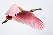 Stock photo of roseate spoonbill captured in Florida.  This bird uses it's unique bill to strain food items out of the water.
